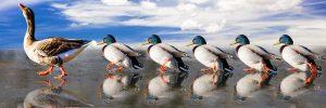 mirroring-ducks